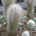 """Old Man Cactus"" (Longwood Gardens)"