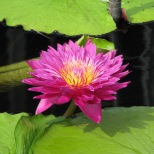 Longwood Gardens - Water Lily